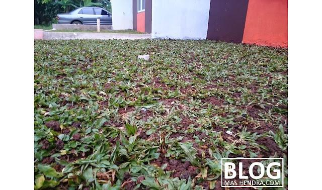 Bisnis Jual Beli Rumput Gajah Mini di Pengasinan, Depok - Blog Mas Hendra