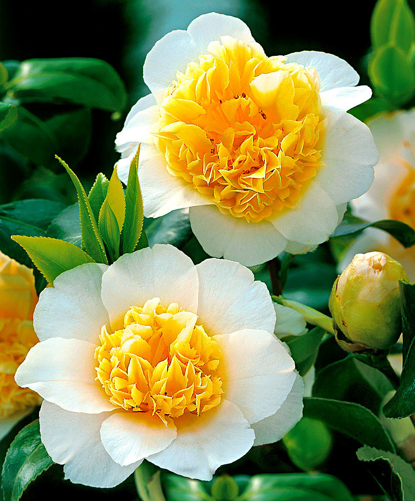 Meaning And Symbolism Of Camellia