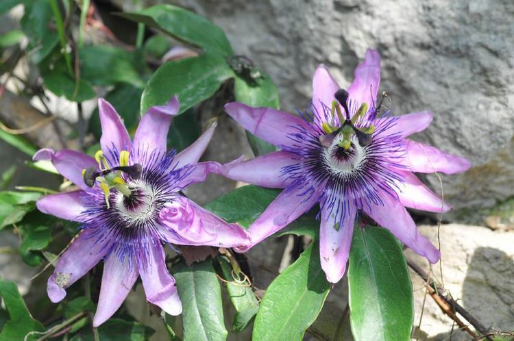 La Mortola. Jardín Botánico Hanbury en la Riviera italiana
