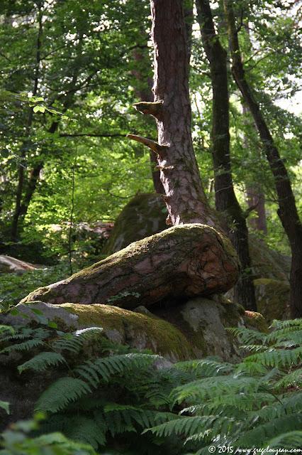 Pin sur rocher, Rocher Canon, Fontainebleau