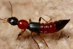 Mengapa Serangga Ini Dinamakan Tomcat