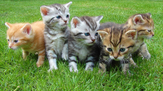 Beautiful Kittens HD Wallpaper Download