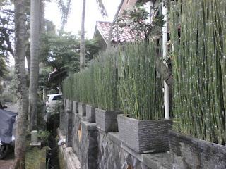Jual Bambu Air di Depok,Jual Tanaman Hias Bambu Air di Juanda,Bambu Hias Bambu Air Murah