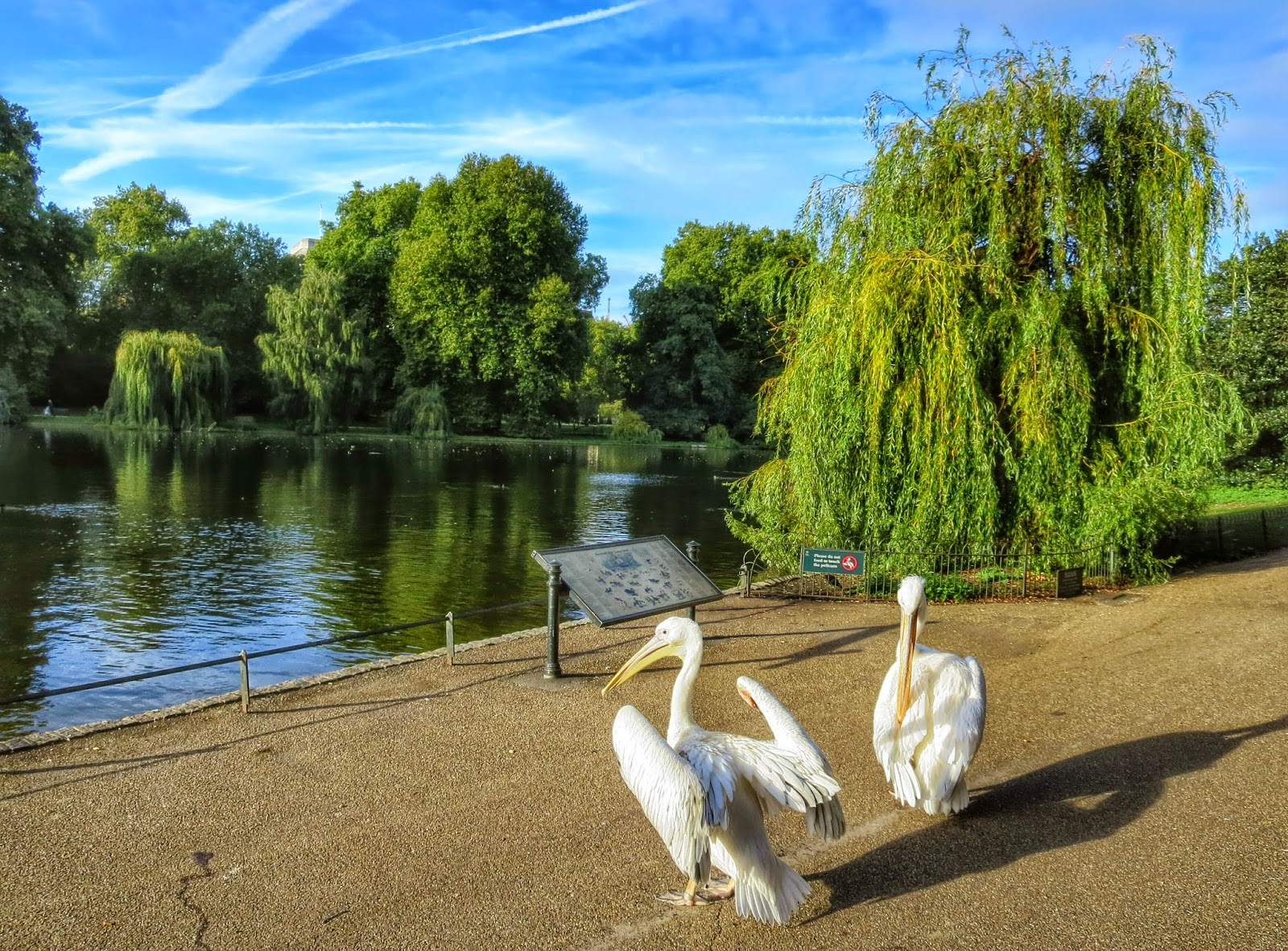 St. James Park Pelicans in London