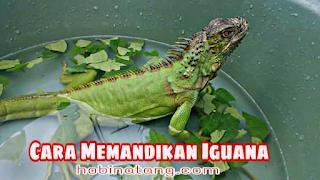 Cara Memandikan Iguana yang Baik dan Benar