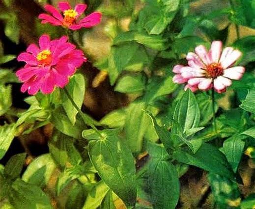 Manfaat tumbuhan Kembang Kertas