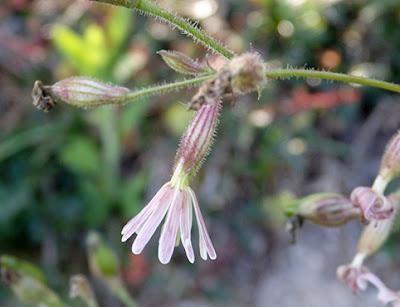 Flores rosadas de Silene ciliata