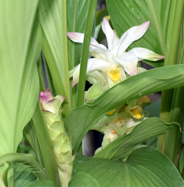 Turmeric Flower- young flower on the left and one blooming on the right