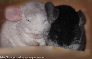 Two  chinchillas.