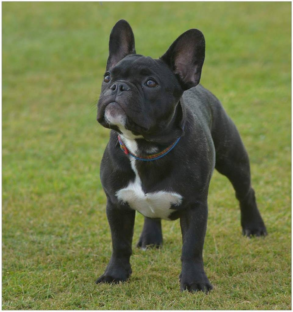 pedigree dogs exposed - the blog: the frenchies that win by