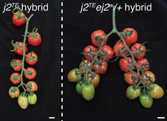 Laporan Penelitian Saklar Genetik Tepat Hasil Panen Tomat Melimpah