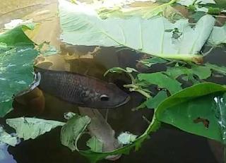 pakan alami ikan mujair