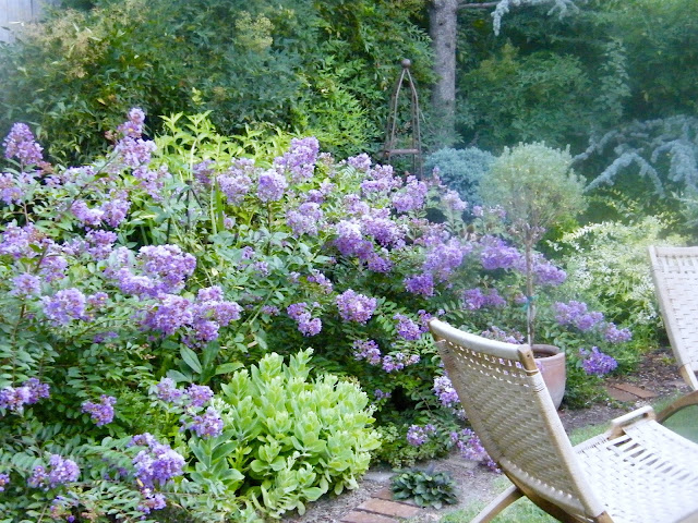 Two beautiful lavender Early Bird Crape myrtles bloom in the garden border with woven garden chairs nearby.