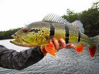 Peacock Bass Fishing | California Striped Bass