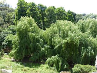 Saule pleureur - Saule de Babylone - Salix babylonica