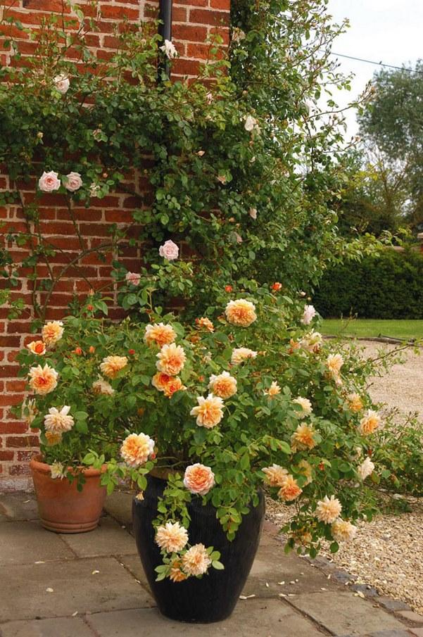 rosal inglés Grace de flores color naranja en maceta