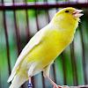 MP3 Suara Burung Kenari Ngebren Dan Ngerol