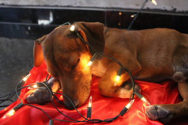 Foto fotografia t5i canon animal cachorro filhote bixos estimação natalino natal