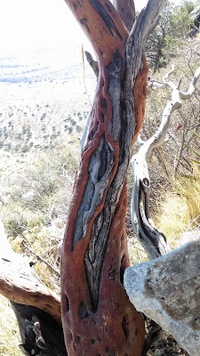 Interesting tree bark from the trail of the Guadalupe Mountain trail.