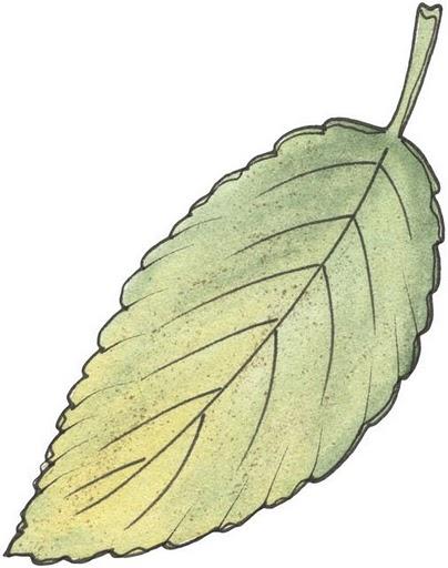 Hojas de arbol para imprimir imagenes y dibujos para for Arboles medianos de hoja perenne