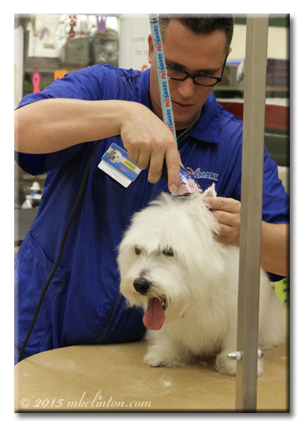 Pet groomer shaving Pierre the Westie's ears