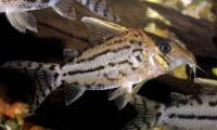 Jenis Ikan Corydoras pulcher