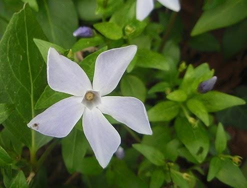 Vincapervinca (Vinca minor) flor silvestre azul