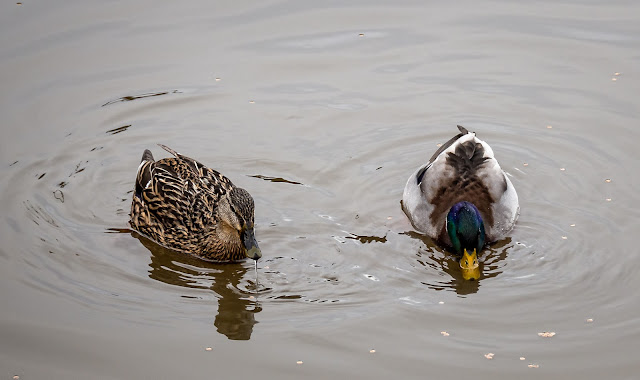 Photo of the ducks that paid us a visit yesterday (Thursday) afternoon