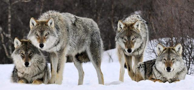 Lobos y zoologia