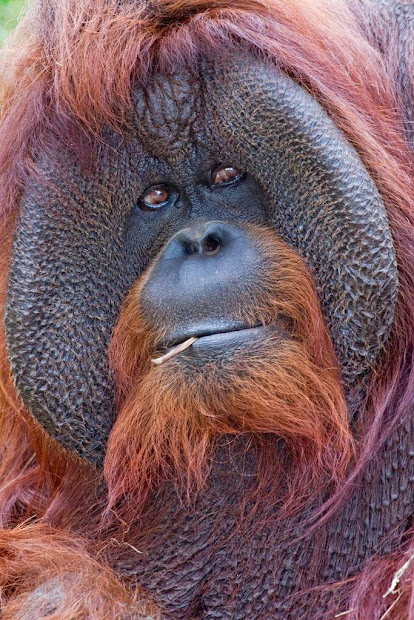 mystery of orangutan flange