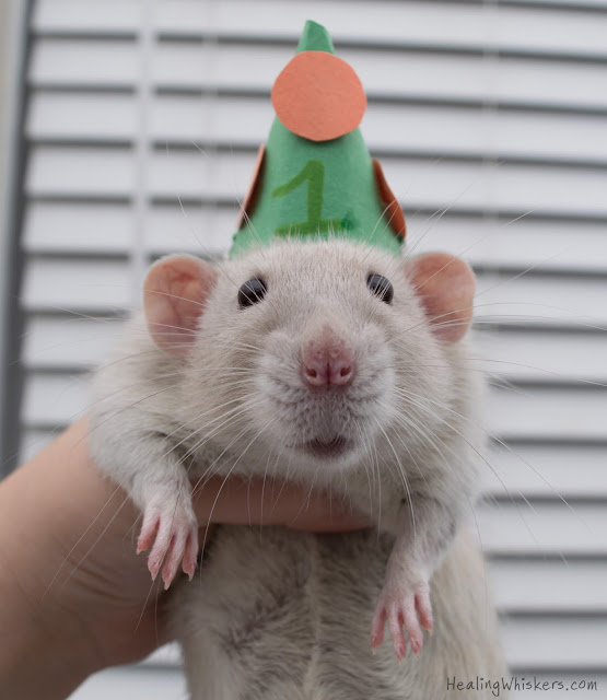 Oliver the therapy rat wearing a party hat