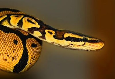 Python in Sonai Rupai Wildlife Sanctuary