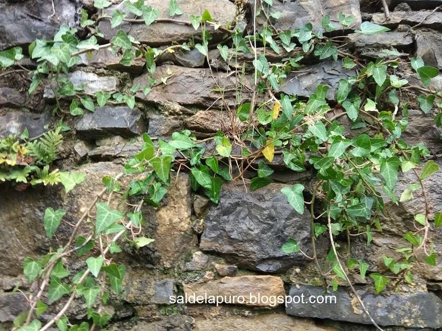 muro-hiedra