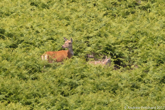 A hind and a calf stop walking through bracken to look at something to their right.