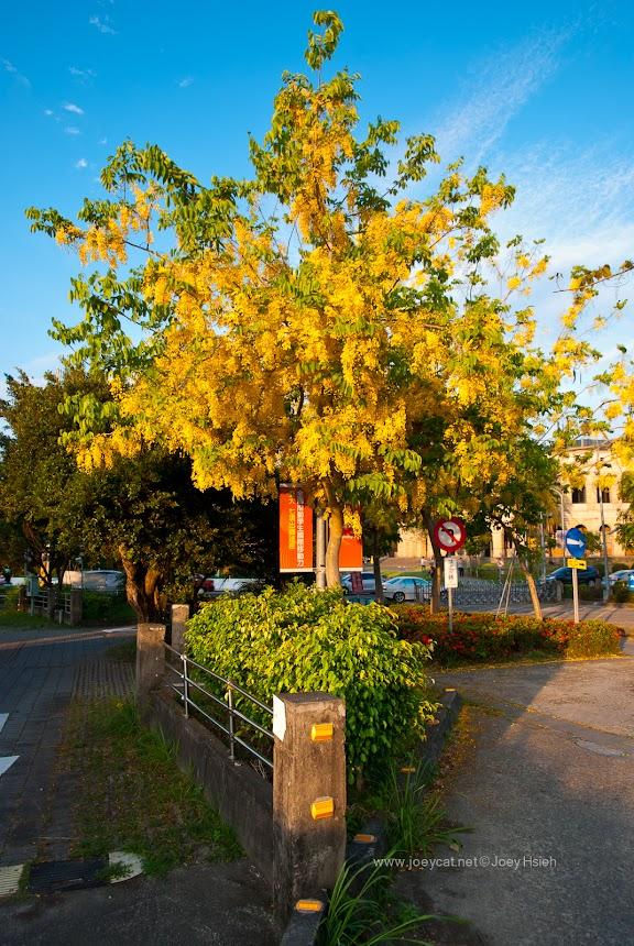 亞洲大學 阿勃勒 花海