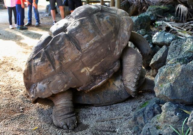 Tortugas Aldabra copulando
