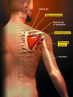 Musculos Humanos Superiores Extremidades Superiores Del