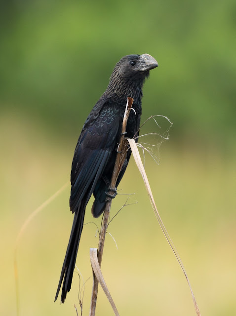 Smooth-billed Ani - Loxohatchee, Florida
