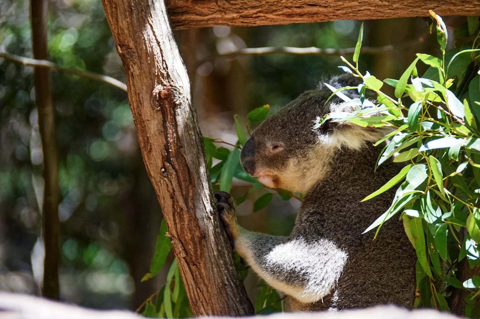 koalas on hamilton island