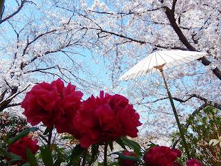 桜と春ぼたん