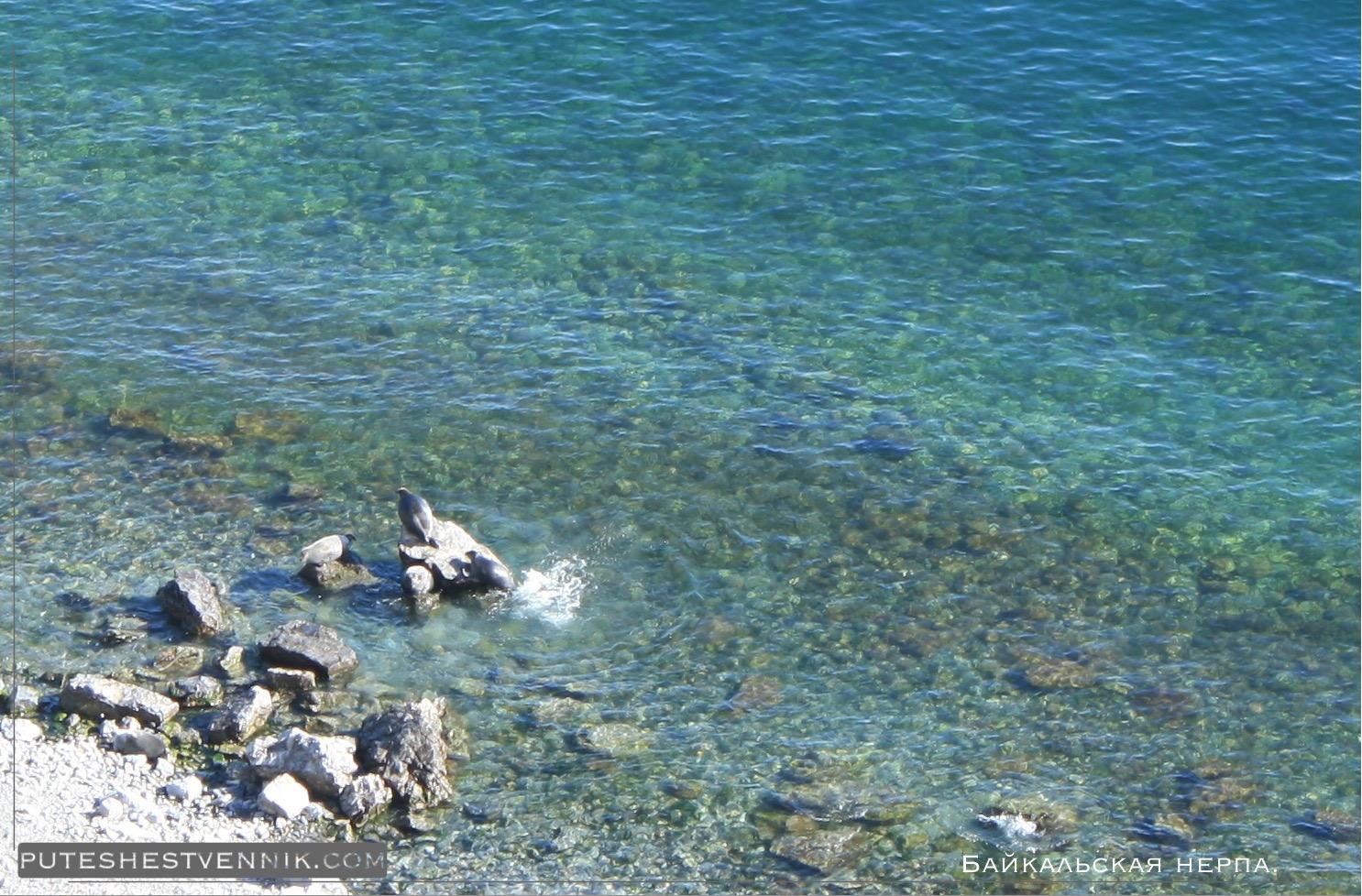 Байкальские нерпы на камнях