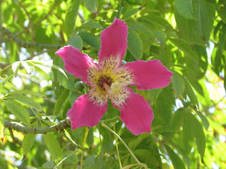 כוריזיה הדורה - פרח בודד
