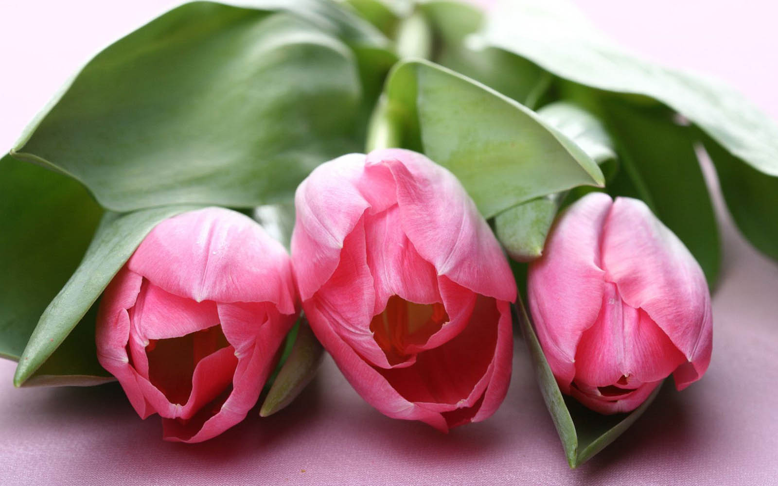 pink tulip flower pictures
