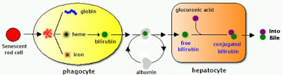 formation-of-bilirubin