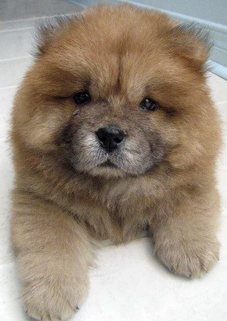 3 Cute Chow chow Puppy