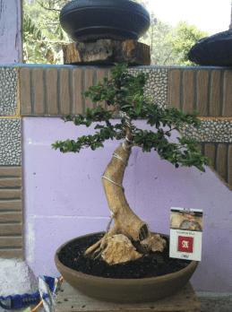 Gambar Tanaman Bonsai Sisir Juara
