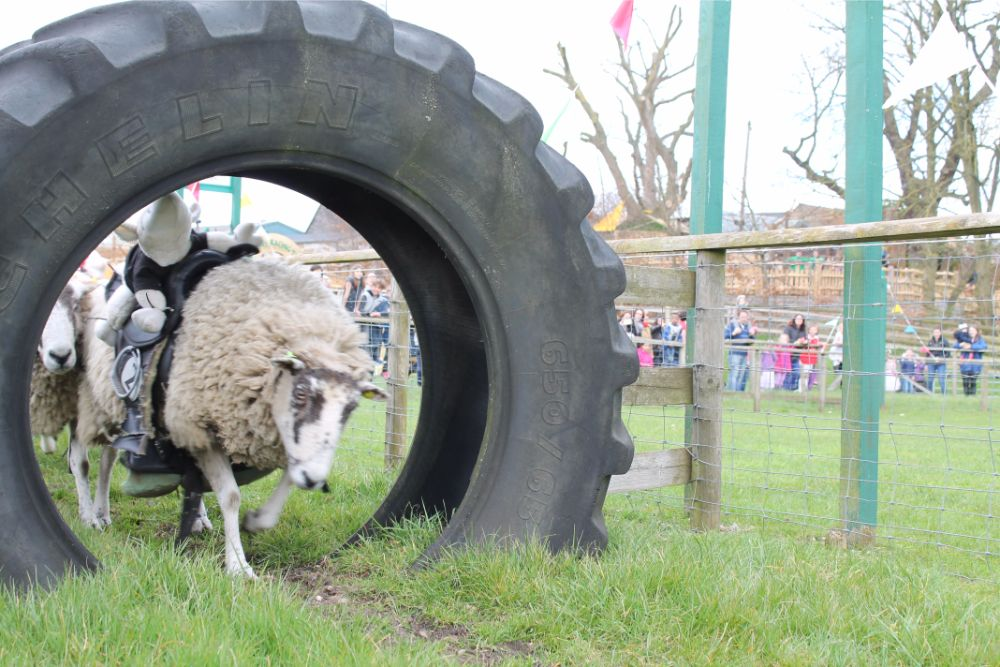 sheep-racing-through-tyre