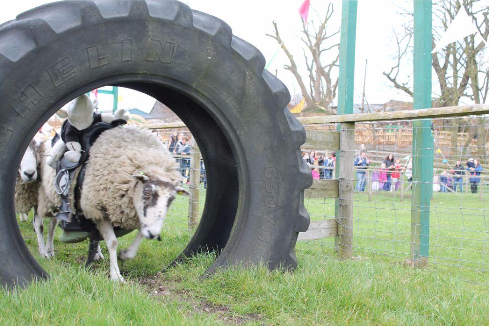 sheep-racing-through-tyre