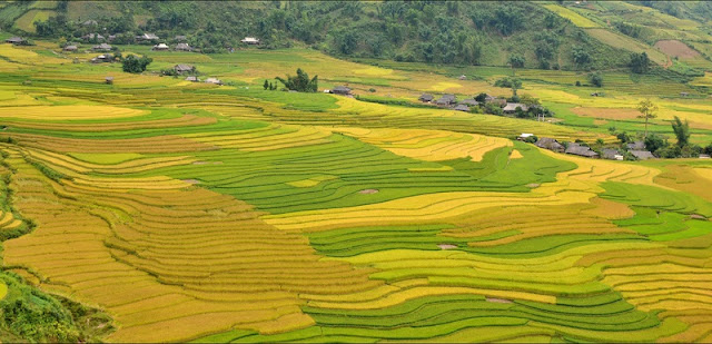 This September! Where to look for ripe rice?