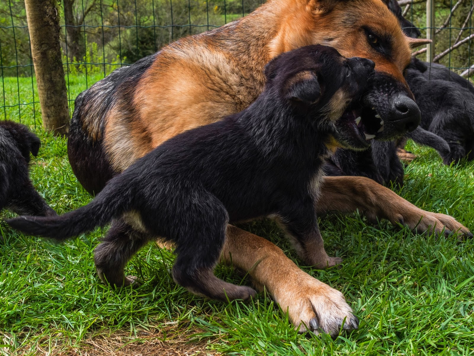 German Shepherd mom playing with her month old puppy.